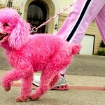 A pink poodle is taken for a walk in Oakland, California.